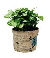Nurturing Green Syngonium Chilli Potted Plant