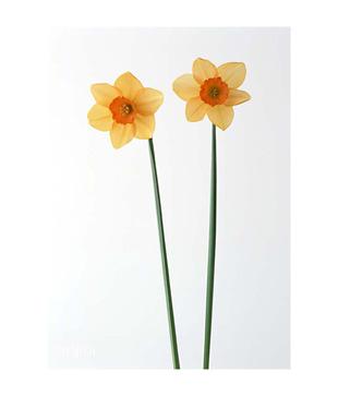 Artjini Two Yellow Poppy Flowers Painting